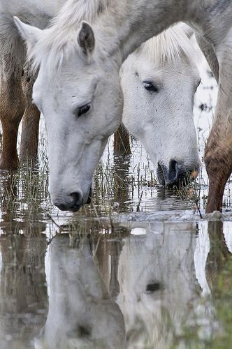 Camargue horses, one of the oldest breeds in the world, native to the Camargue marshes of the Rhone River Delta, France