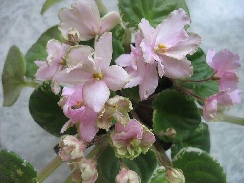 Ma's Easter Parade (O.Robinson).   Нарядные махровые и полумахровые крупные розовые цветы со светло-зеленым широким волнистым краем. Симметричная розетка из средне-зеленых с белым листьев. Обильное букетное цветение.
