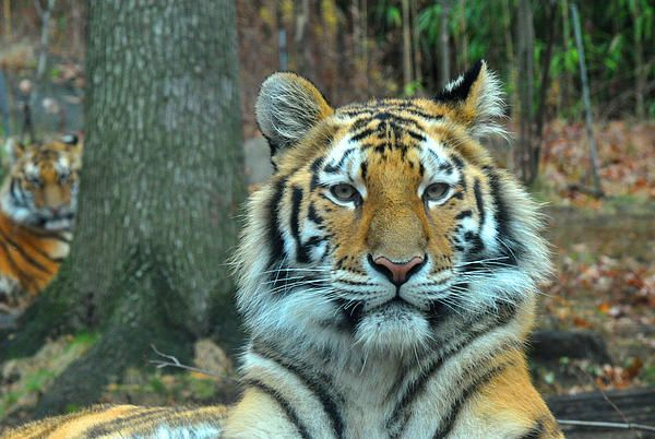 Fabulous capture by Diane Lent #photography   #animals   #tiger