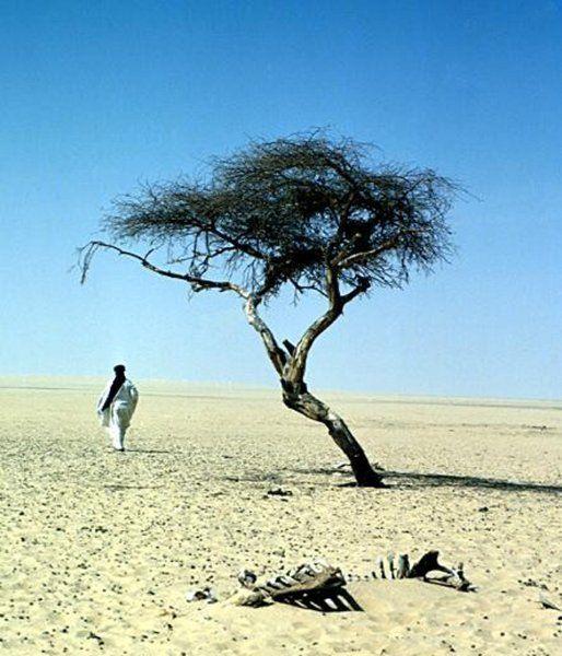 """Baum zu glauben:  Diese Schirmakazie in der Ténéré-Wüste war lange der einzige Baum im Umkreis von 400 Kilometern, im Herzen der Sahara. Bereits Anfang des 20. Jahrhunderts soll der """"Arbre du Ténéré"""" Franzosen in der Region aufgefallen sein, die damals zu Französisch-Westafrika gehörte. Tuareg-Nomaden kannten die Pflanze schon Jahrzehnte länger. Je mehr Menschen jedoch auf den unglaublichen Baum aufmerksam wurden, umso   unglücklicher wendete sich sein Schicksal."""