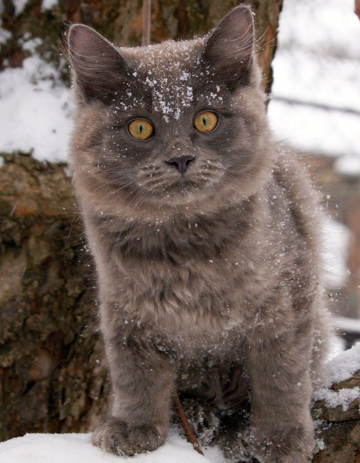 CatCat Kittens, Bears Cat, C 2Cat Snow, Winter Adventure, Snow Cat, C2Cat Snow, Amber Eye, Kitty, Adorable Animal
