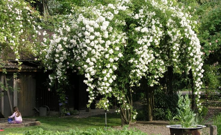 Blütenfülle und Wuchsstärke der weißen Rambler-Rose 'Bobby James' sind legendär