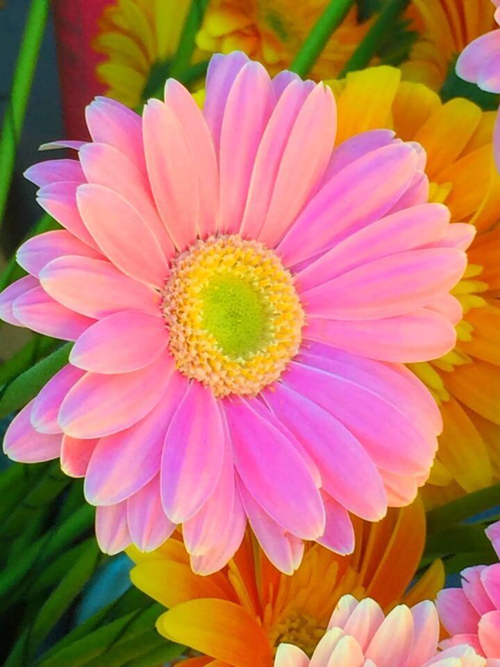 Gerber daisies planting, growing, enjoying http://mysoulfulhome.com
