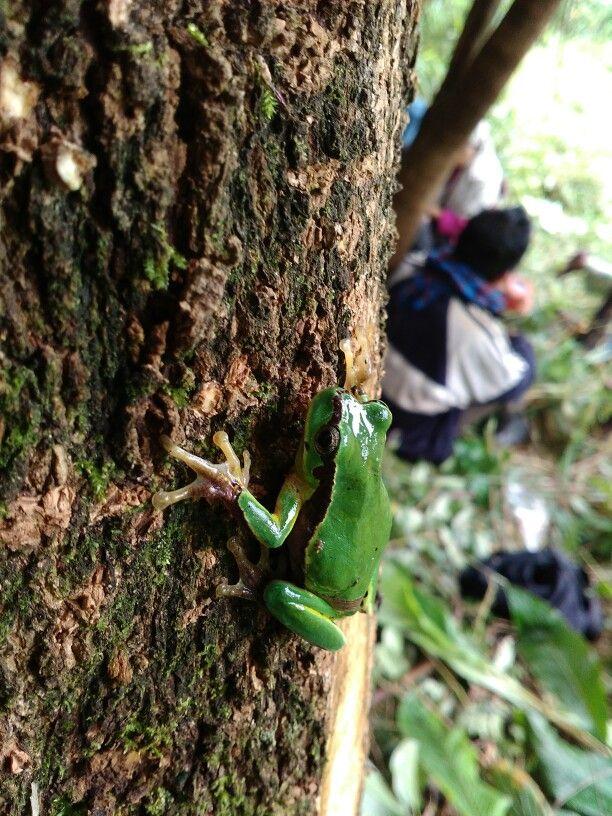 Jungle green frog from Naga
