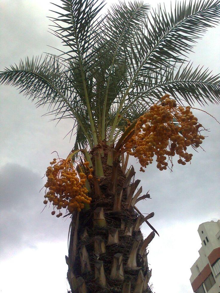 Antalyada hurma ağçı