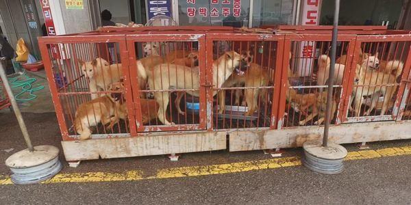 In Corea del Sud chiude il più grande mercato di carne di cane