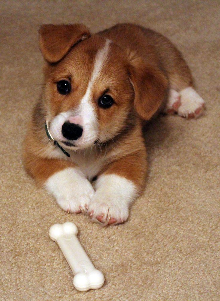 Best Dog Treats For Corgis