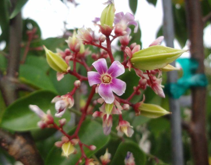 A blooming, fruiting Carambola, Averrhoa carambola