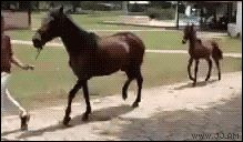 """""""for anyone interested these are paso fino horses and this gait is natural! they are the smoothest ride with no bumpy movements. you could practically drink juice and not once would it spill on your face!"""""""