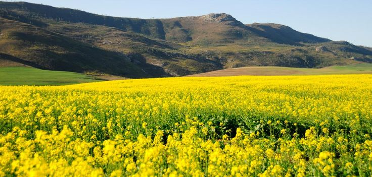 Canola Fields, the Overberg region of the Southern Cape