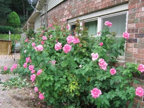 PLANTED: 'Queen Elizabeth' is a grandiflora rose whose flowers come singly on one stem, similar to hybrid tea roses.  It should be planted as a specimen rose by itself or as a centerpiece or focal point, because of the size.  Height 5-8 feet.