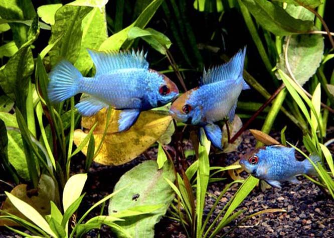 Tropical Freshwater Aquarium Fish Mail Order - German Blue Rams, Cichlids & Labyrinth Fish, Rainbowfish and Blue-eyes