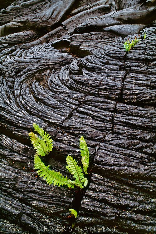 Ferns sprouting in lava cracks, Hawaii Volcanoes National Park, Hawaii