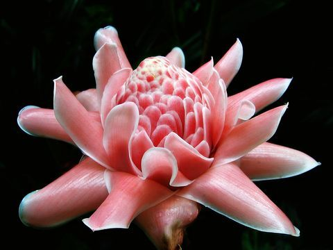Torch Ginger, Etlingera elatior, by Schristia via Wikimedia Commons (cc-by)