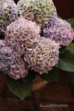 母の日*秋色紫陽花「西安」鉢