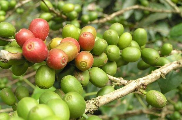 So what compound in green coffee beans makes them such fat incinerators? Researchers explained that they don't believe it's the caffeine. Its the beneficial effects of green coffee beans can be attributed to their chlorogenic acid. However, chlorogenic acid isn't present in roasted coffee beans because it's broken down during the roasting process. The study's lead researcher also points out that there were no negative side effects observed from taking the green coffee bean extract capsules.