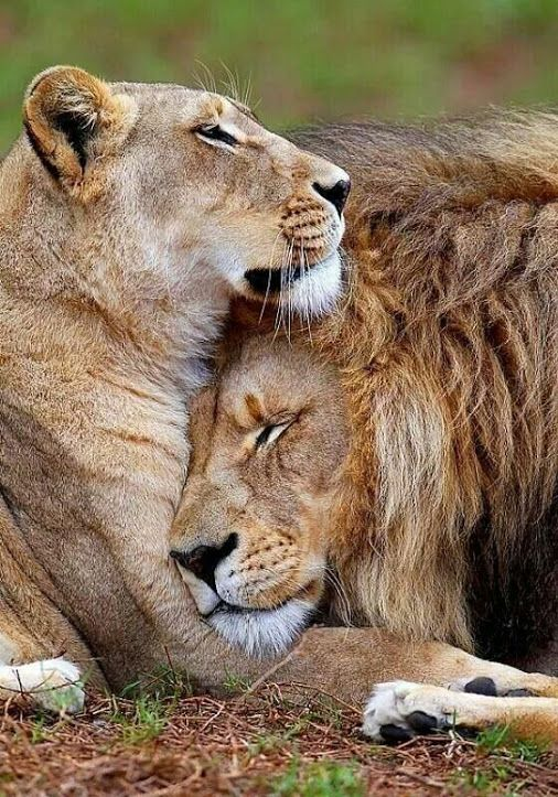 Lion cuddle.... Here you relax with these backyard landscaping ideas and landscape design. #Relax more with this #free #music with #BinauralBeats that can #heal you: #landscaping #LandscapingIdeas #landscapeDesign