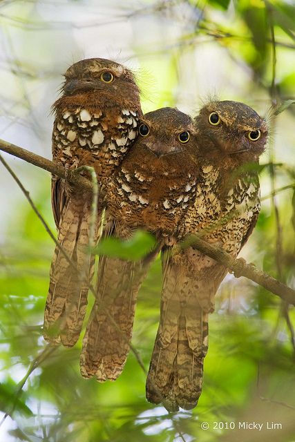 Javan Frogmouth - Batrachostomus javensis, (from left to right - female, chick and male), belonging to the species Batrachostomus javensis (Caprimulgiformes - Podargidae).