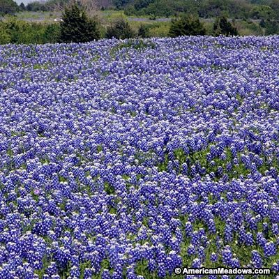 One of the world's great wildflowers, Bluebonnet is not easy, even in Texas.  Once happy, it's  spectacular.  Annual.Looking for Texas Bluebonnet seeds in packets