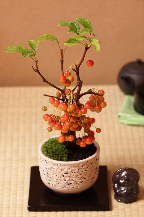 RK:さくらんぼ:bonsai