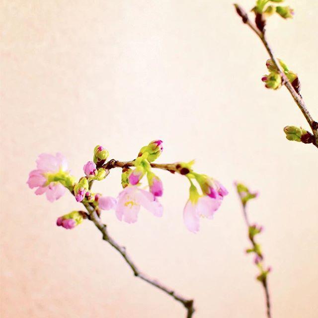【cassiestable】さんのInstagramをピンしています。 《自分で買ったり、いただいたり。  毎年この時期になると我が家にやってくる、 春先取りの啓翁桜さん。  我が家はマンション構造のうえ、 日当たりもよいので 冬あったかいのが嬉しいのですが、  お花さんたちが性急に開きすぎてしまって、 寿命が短くなってしまうのが悩ましいところ、、、。 もっと、ゆっくり楽しみたいのにな。  かといって、 北側のお部屋や玄関では、 目にする機会が少なくなってしまうからさみしいし、、、 悩む悩む。  そして、毎年啓翁桜の頃に舞い込んでくるのが、 タイに住む妹、みーちゃんからの 日本帰国のお知らせ。  むふふ❤️ 2月は日本行きの飛行機が安いから、らしい。  今年の年末年始は諸事情によりタイ行けなかったから 甥っ子に会いたすぎて首が伸びきってしまっていたところだったので 嬉しい❤️嬉しい❤️❤️ 何して遊ぼうかしらっっ✨ 夢は蕾とともにふくらむのであります。  #暮らし#啓翁桜#枝もの#植物#桜#春の訪れ#妹》