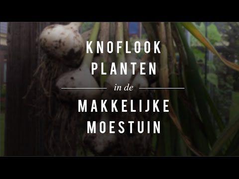Knoflook kweken in de MM - De Makkelijke Moestuin