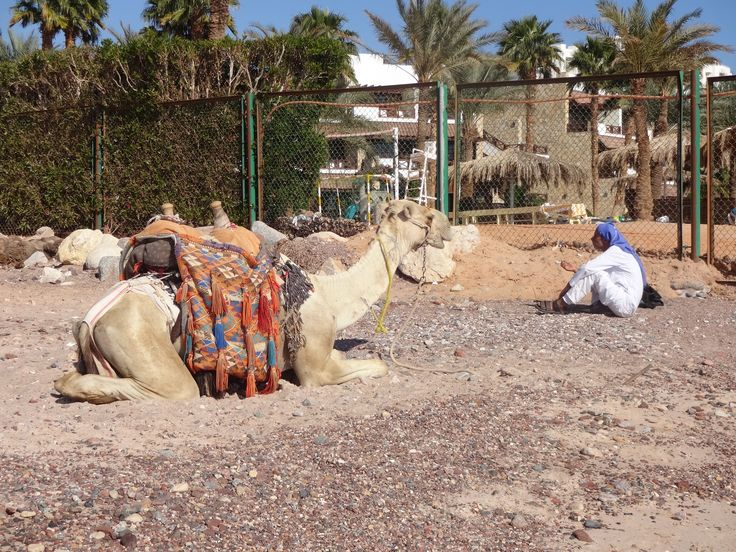 Бабуин со своим верблюдом.
