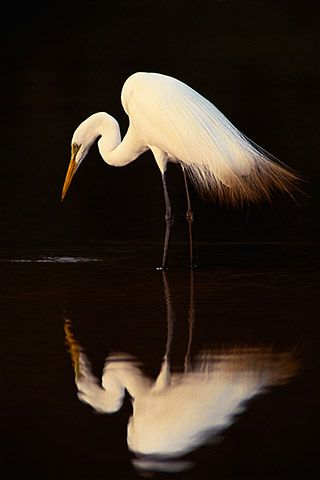 """""""Great Egret"""" by National Geographic photographer Frans Lanting taken in a lagoon in Pantanal, Brazil."""