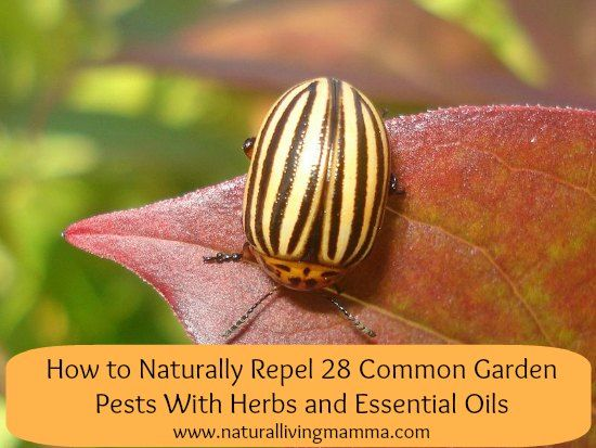 find this pin and more on essential oils for home and garden natural cleaning pest control and more - Home And Garden Pest Control