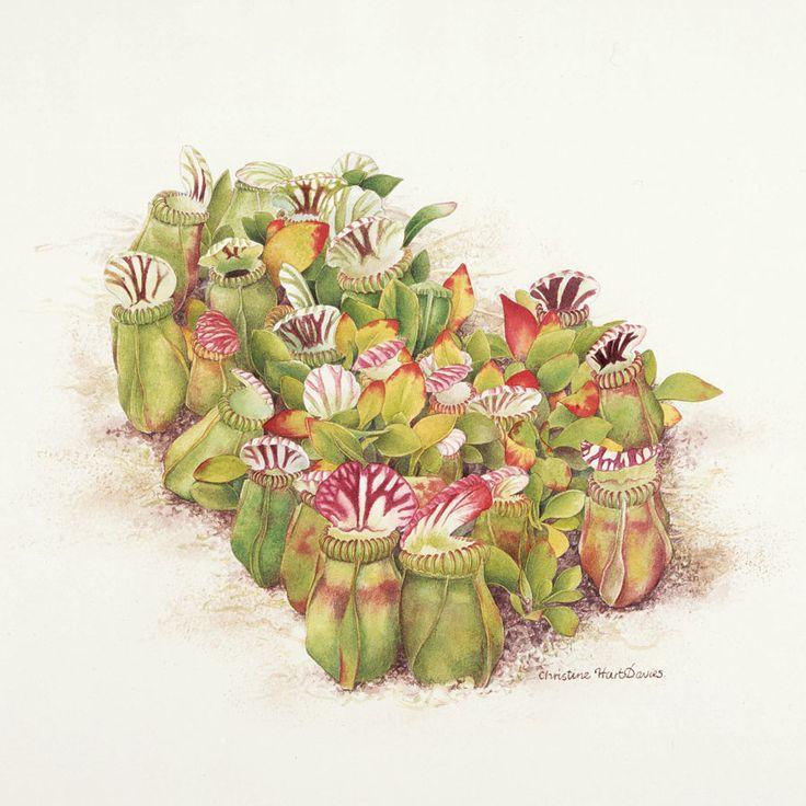 Scientific Illustration Carnivorous Plants Pinterest