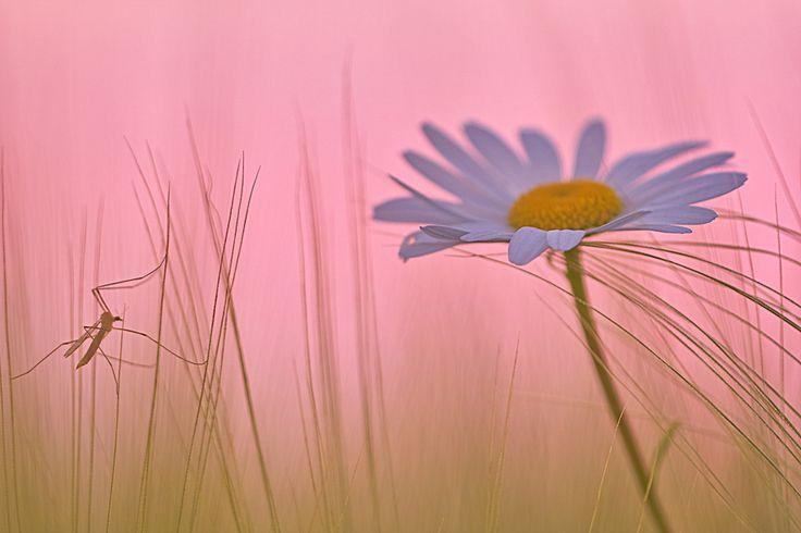 Dieses Foto entstand im Juni 2010 in Sachsen / Erzgebirge an einem warmen Sommerabend direkt bei Sonnenuntergang am Rande eines Kornfeldes. Die Margerite (Leucanthemum vulgare) und die Schnake (Tipulidae) schienen den Abend gemeinsam verbringen zu wollen.