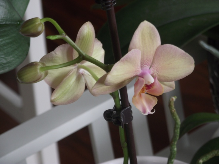 No.7 on a brand new bloom - Jan 2013 #orchids