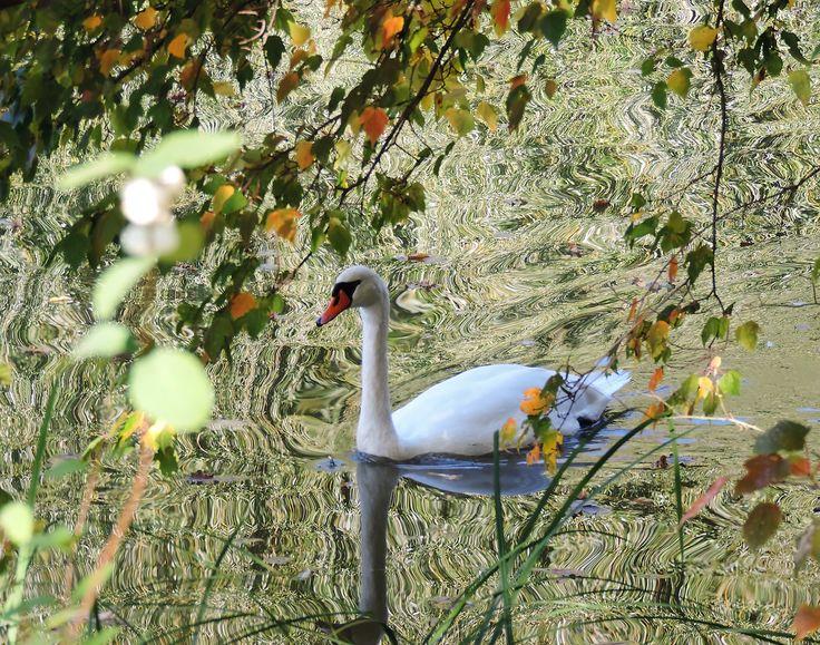 Photography by Daniela Faber +++ White Swan +++ lake pond bird Schwan