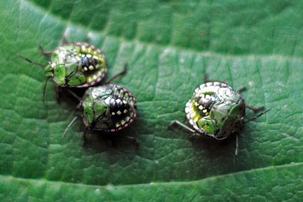 baby Green shield bugs/RHS Gardening
