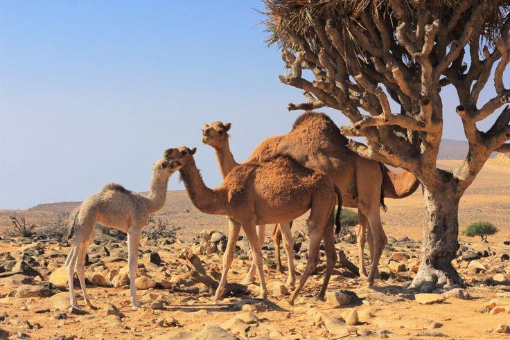 SALALAH  VERACLUB SALALAH    Nella tranquilla e suggestiva baia di Mirbat, nel sud dell' Oman, è situato il Veraclub Salalah, , che si specchia nel mare cristallino, ai piedi dei monti del Jabel Samhan.   #prenota la tua #vacanza o richiedi informazioni #helevirturismo  #suite #resort #spa #isole #vacanza #travel #travelblogger #influencer #ISCHIAVIVE  https://www.facebook.com/search/top/?q=helevir%20turismo  http://www.helevirturismo.it/  https://plus.google.com/u/1/collection/khe9LE