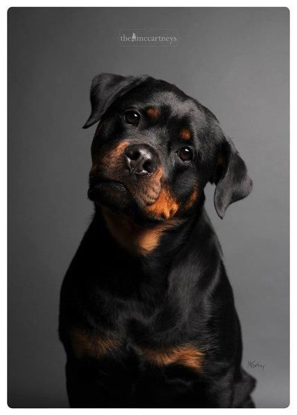 """Rottweiler - """"I can't understand the words that are coming out of your mouth"""" (in a Jackie Chan accent) ;) Rotties are so attentive!"""
