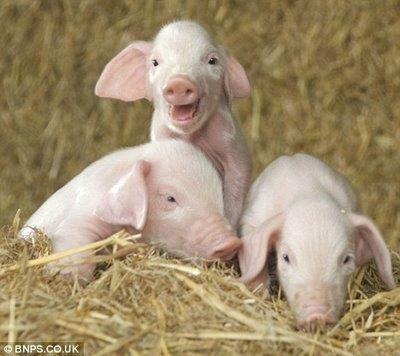 LOL, this little piggie is laughing, I swear he is! Too cute! sjh