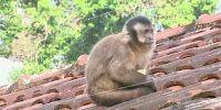 """""""O GRITO DO BICHO"""": Macacos-prego viram atração durante as manhãs em á..."""
