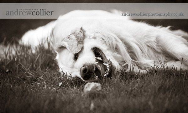 Photograph of a three year old flat coated golden retriever