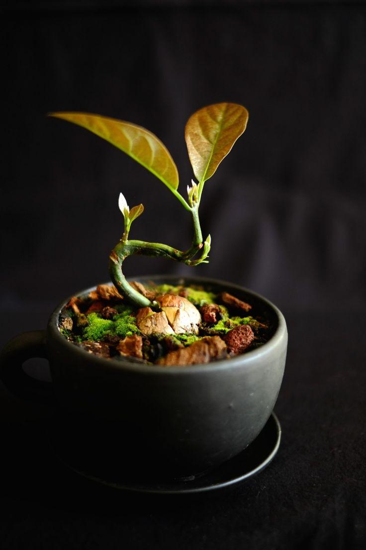 Como Cultivar Bonsais Of 1000 Ideias Sobre Como Plantar Abacate No Pinterest