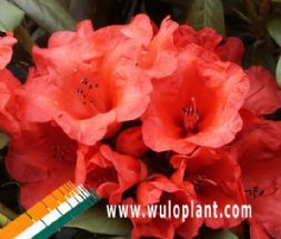 Wuloplant: view assortment by category Rhododendron Yakushimanum