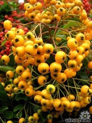 Vuurdoorn Pyracantha Lsquo Soleil D Rsquo Or Rsquo Planten Online Kopen Plants Flower Garden Growing