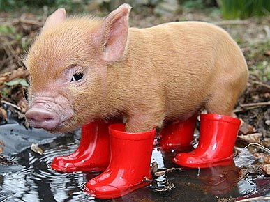 Tiny Pig with Tiny Boots.: Piglets, Little Pigs, Red Boots, Rain Boots, Pet, Minis Pigs, Baby Pigs, Piggy, Teacups Pigs