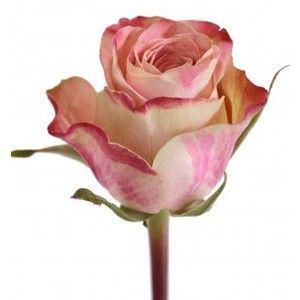 Rosa - Upper Secret - Rose - Røde tupper med hvite og rosa blader.
