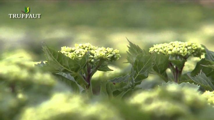135 best truffaut calendrier jardinier images on pinterest calendar tips and beautiful gardens - Entretien et coupe des hortensias ...