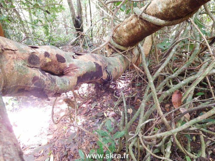Tarentule sur sa branche, jungle du Cambodge