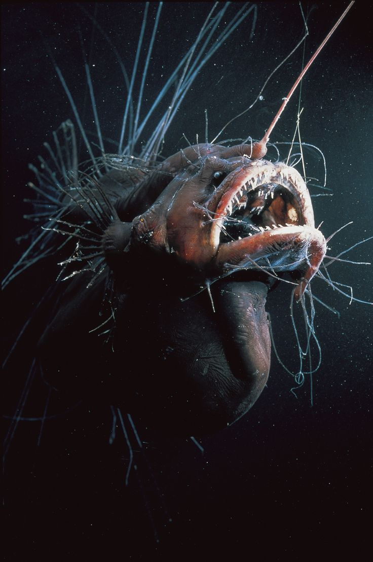 deep sea angler - Once you get really deep, the ocean has such incredible wonders.  The Angler fish is the boss of the deep sea.