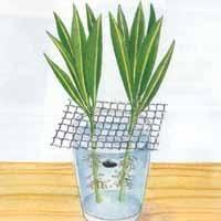 Bouturer le laurier rose : Attendre l'apparition des racines