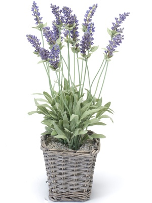 Potted Lavender Plant
