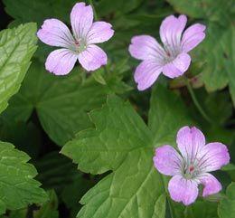 Geranium nodosum 'Simon' - Bergwald-Storchschnabel Allein schon wegen des Namens gut für den Vorgarten ;-)